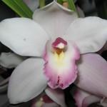Un'orchidea per combattere l'osteoporosi